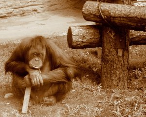 Orangutan_thinking_(var_2)