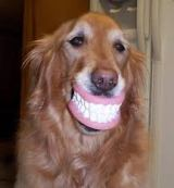 Golden Retriever with false teeth.  You get the idea.