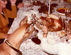 Great Dane Lovey admires the turkey