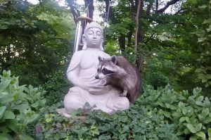 Rocky Racoon helps himself to the peanuts in Buddha's hands